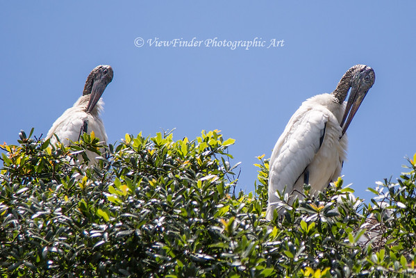 Nesting Wood Storks